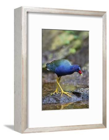 Purple gallinule (Porphyrula martinica) foraging.-Larry Ditto-Framed Photographic Print