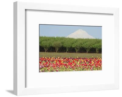 Mt. Hood and tulip fields, Willamette Valley, Oregon-Stuart Westmorland-Framed Photographic Print