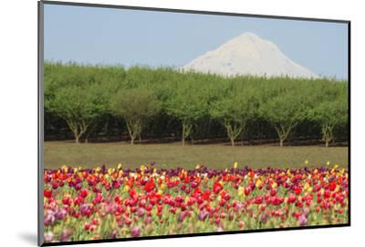 Mt. Hood and tulip fields, Willamette Valley, Oregon-Stuart Westmorland-Mounted Photographic Print