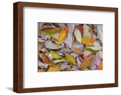 USA, Washington State, Seabeck. Fallen dogwood Leaves close-up.-Jaynes Gallery-Framed Photographic Print