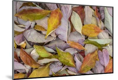 USA, Washington State, Seabeck. Fallen dogwood Leaves close-up.-Jaynes Gallery-Mounted Photographic Print