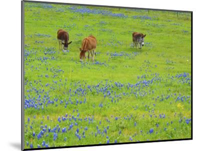 Donkey in field of bluebonnets near Llano Texas-Sylvia Gulin-Mounted Photographic Print