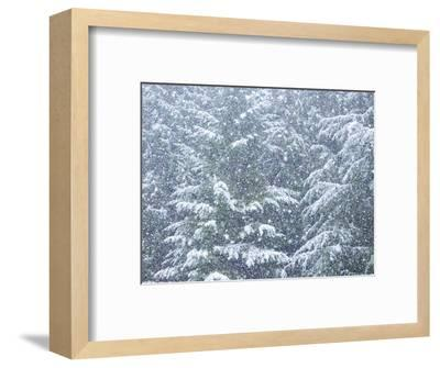 Fresh snow on evergreen trees-Sylvia Gulin-Framed Photographic Print