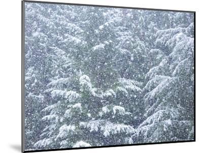 Fresh snow on evergreen trees-Sylvia Gulin-Mounted Photographic Print