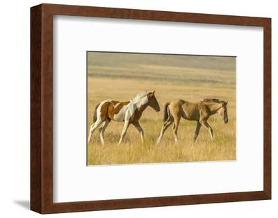 USA, Utah, Tooele County. Wild horse foals walking.-Jaynes Gallery-Framed Photographic Print