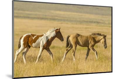 USA, Utah, Tooele County. Wild horse foals walking.-Jaynes Gallery-Mounted Photographic Print