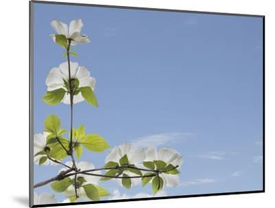 USA, Washington State, Gifford Pinchot National Forest. Pacific dogwood limbs and flowers.-Jaynes Gallery-Mounted Photographic Print