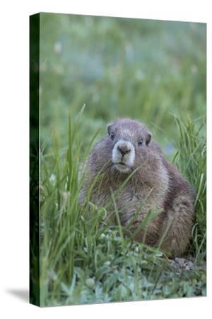 WA. Endemic Olympic Marmot (Marmota olympus) juvenile near Hurricane Ridge, Olympic National Park.-Gary Luhm-Stretched Canvas Print