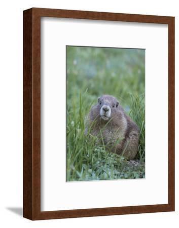 WA. Endemic Olympic Marmot (Marmota olympus) juvenile near Hurricane Ridge, Olympic National Park.-Gary Luhm-Framed Photographic Print