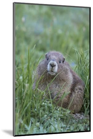 WA. Endemic Olympic Marmot (Marmota olympus) juvenile near Hurricane Ridge, Olympic National Park.-Gary Luhm-Mounted Photographic Print