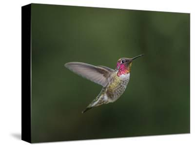 USA, WA. Male Anna's Hummingbird (Calypte anna) displays its gorget while hovering in flight.-Gary Luhm-Stretched Canvas Print