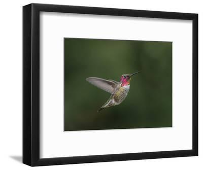 USA, WA. Male Anna's Hummingbird (Calypte anna) displays its gorget while hovering in flight.-Gary Luhm-Framed Photographic Print