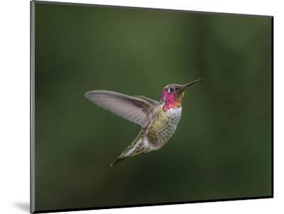 USA, WA. Male Anna's Hummingbird (Calypte anna) displays its gorget while hovering in flight.-Gary Luhm-Mounted Photographic Print