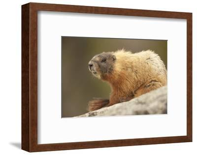 Yellowstone NP, Wyoming Yellow-bellied marmot keeping a watch with its teeth showing-Janet Horton-Framed Photographic Print
