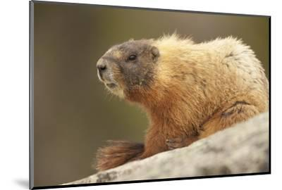 Yellowstone NP, Wyoming Yellow-bellied marmot keeping a watch with its teeth showing-Janet Horton-Mounted Photographic Print