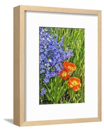 USA, Pennsylvania, Kennett Square. Quamash and tulips-Hollice Looney-Framed Photographic Print