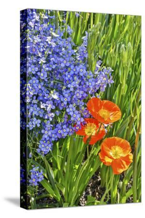 USA, Pennsylvania, Kennett Square. Quamash and tulips-Hollice Looney-Stretched Canvas Print