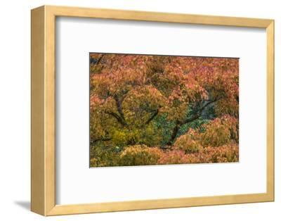 USA, Washington State, Bainbridge Island. Japanese maple tree in autumn.-Jaynes Gallery-Framed Photographic Print