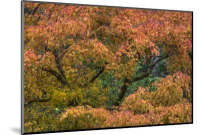 USA, Washington State, Bainbridge Island. Japanese maple tree in autumn.-Jaynes Gallery-Mounted Photographic Print