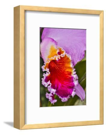 USA, Pennsylvania, Kennett Square. Orchid-Hollice Looney-Framed Photographic Print