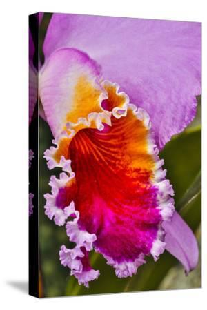 USA, Pennsylvania, Kennett Square. Orchid-Hollice Looney-Stretched Canvas Print