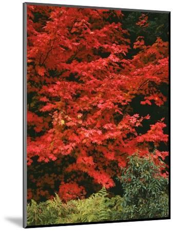 Oregon, Mount Hood NF. Bright red leaves of vine maple in autumn contrast with ferns and shrub.-John Barger-Mounted Photographic Print