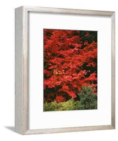 Oregon, Mount Hood NF. Bright red leaves of vine maple in autumn contrast with ferns and shrub.-John Barger-Framed Photographic Print