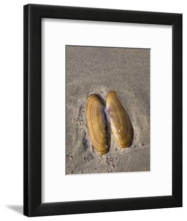 USA, Oregon, Oswald West State Park, Mussel shell and beach sand.-John Barger-Framed Photographic Print