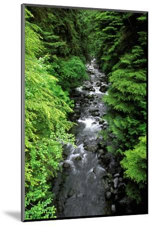 Dense forest along Howe Creek in the Quinault Rain Forest, Olympic National Park, WA.-Russ Bishop-Mounted Photographic Print