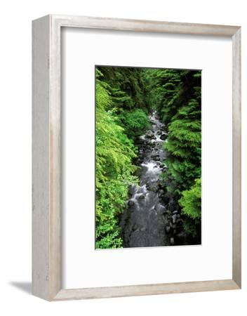Dense forest along Howe Creek in the Quinault Rain Forest, Olympic National Park, WA.-Russ Bishop-Framed Photographic Print