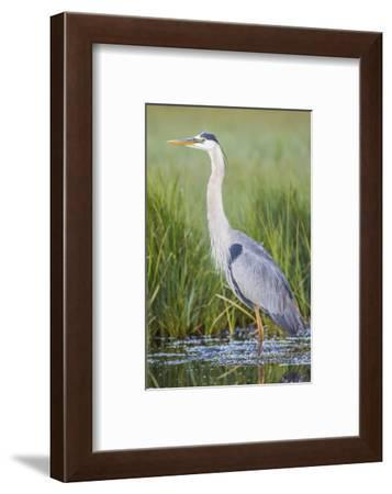USA, Wyoming, Sublette County. Great Blue Heron standing in a wetland full of sedges in Summer.-Elizabeth Boehm-Framed Photographic Print