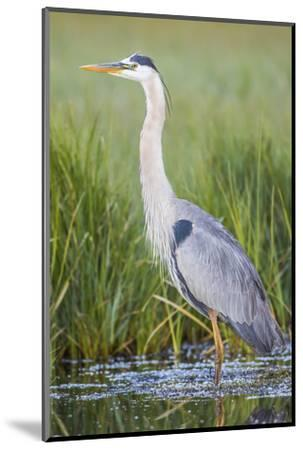 USA, Wyoming, Sublette County. Great Blue Heron standing in a wetland full of sedges in Summer.-Elizabeth Boehm-Mounted Photographic Print