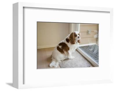 Mandy, a Cavalier King Charles Spaniel, waiting by a sliding glass door to be let out.-Janet Horton-Framed Photographic Print