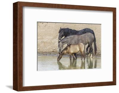 USA, Utah, Tooele County. Wild horses drinking from waterhole.-Jaynes Gallery-Framed Photographic Print
