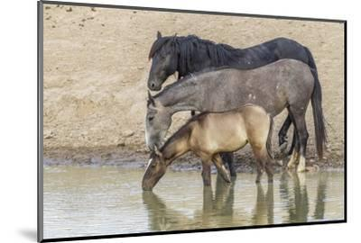 USA, Utah, Tooele County. Wild horses drinking from waterhole.-Jaynes Gallery-Mounted Photographic Print