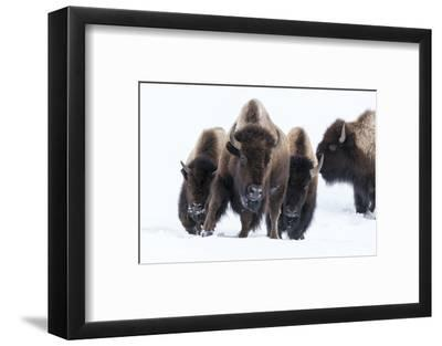 Wyoming, Yellowstone NP. American bison (Bos bison) beginning to run through the deep snow.-Ellen Goff-Framed Photographic Print
