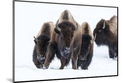 Wyoming, Yellowstone NP. American bison (Bos bison) beginning to run through the deep snow.-Ellen Goff-Mounted Photographic Print