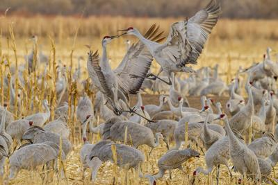USA, New Mexico, Bosque del Apache National Wildlife Refuge. Sandhill cranes fighting.-Jaynes Gallery-Framed Photographic Print