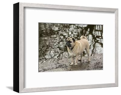 Redmond, WA. Fawn-colored Pug, Buddy, posing by the Sammamish river in Marymoor Park.-Janet Horton-Framed Photographic Print