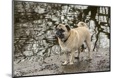 Redmond, WA. Fawn-colored Pug, Buddy, posing by the Sammamish river in Marymoor Park.-Janet Horton-Mounted Photographic Print