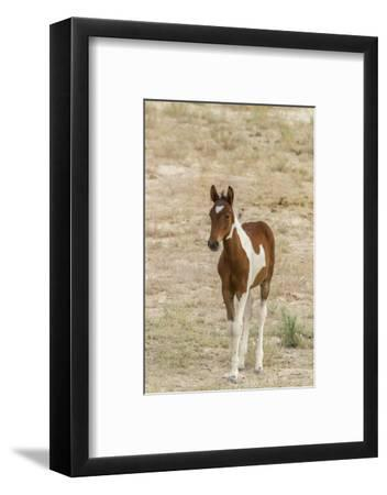 USA, Utah, Tooele County. Wild horse foal close-up.-Jaynes Gallery-Framed Photographic Print
