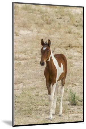 USA, Utah, Tooele County. Wild horse foal close-up.-Jaynes Gallery-Mounted Photographic Print