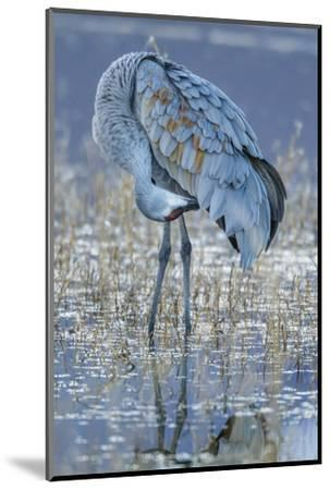 USA, New Mexico, Bosque Del Apache National Wildlife Refuge. Sandhill crane grooming.-Jaynes Gallery-Mounted Photographic Print