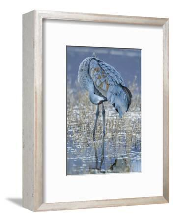 USA, New Mexico, Bosque Del Apache National Wildlife Refuge. Sandhill crane grooming.-Jaynes Gallery-Framed Photographic Print