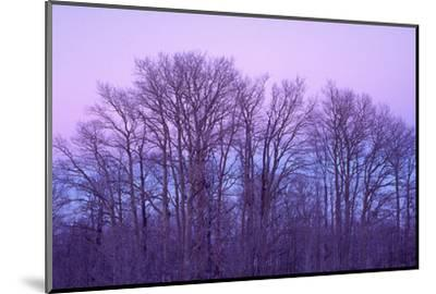 Bare aspen trees against purple twilight on Boulder Mountain, Dixie National Forest, Utah, USA.-Russ Bishop-Mounted Photographic Print