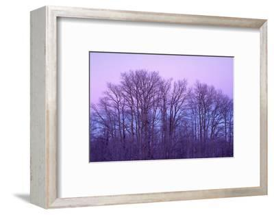 Bare aspen trees against purple twilight on Boulder Mountain, Dixie National Forest, Utah, USA.-Russ Bishop-Framed Photographic Print
