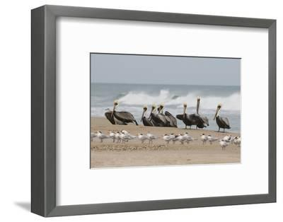 Brown Pelicans and Elegant Terns on the beach-Ken Archer-Framed Photographic Print