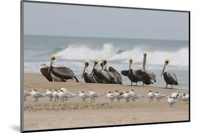 Brown Pelicans and Elegant Terns on the beach-Ken Archer-Mounted Photographic Print
