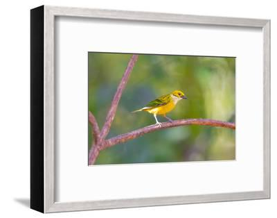 Central America, Costa Rica. Male silver-throated tanager in tree.-Jaynes Gallery-Framed Photographic Print