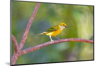 Central America, Costa Rica. Male silver-throated tanager in tree.-Jaynes Gallery-Mounted Photographic Print